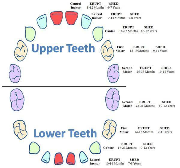 Baby Teeth Chart 02