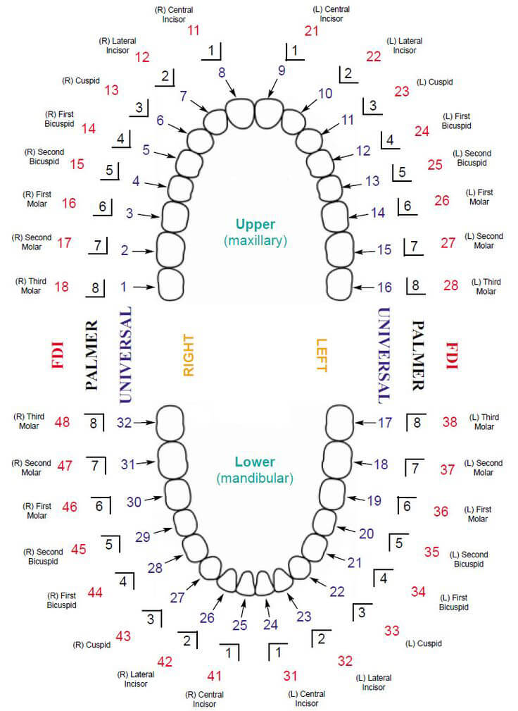 Baby Teeth Chart 04