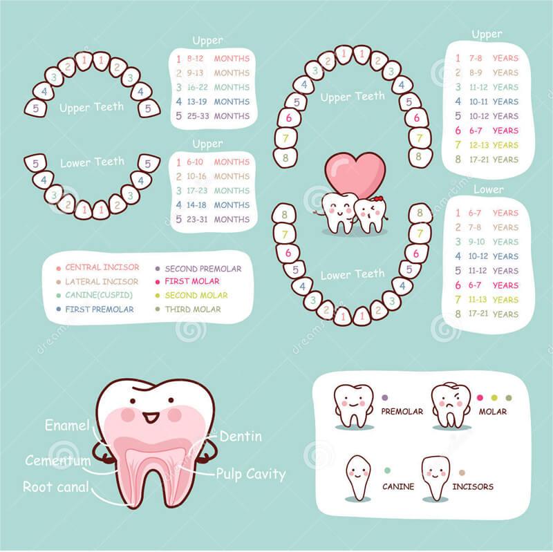 Baby Teeth Chart 10