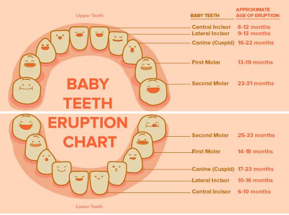 Baby Teeth Eruption Chart 03