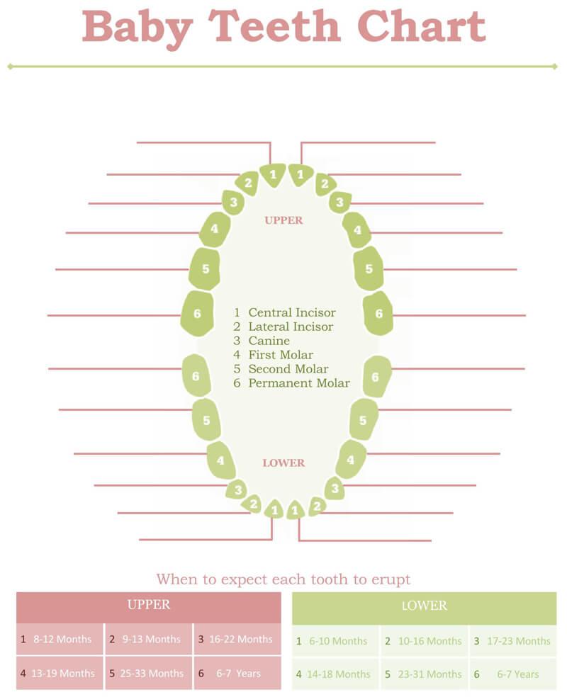 Baby Teeth Eruption Chart PDF