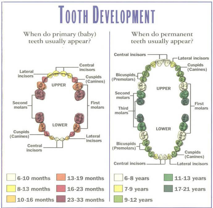 baby Teeth Eruption Chart 02